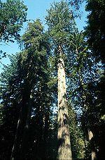 150px-Coastal_redwood