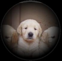 Puppy_spotlight